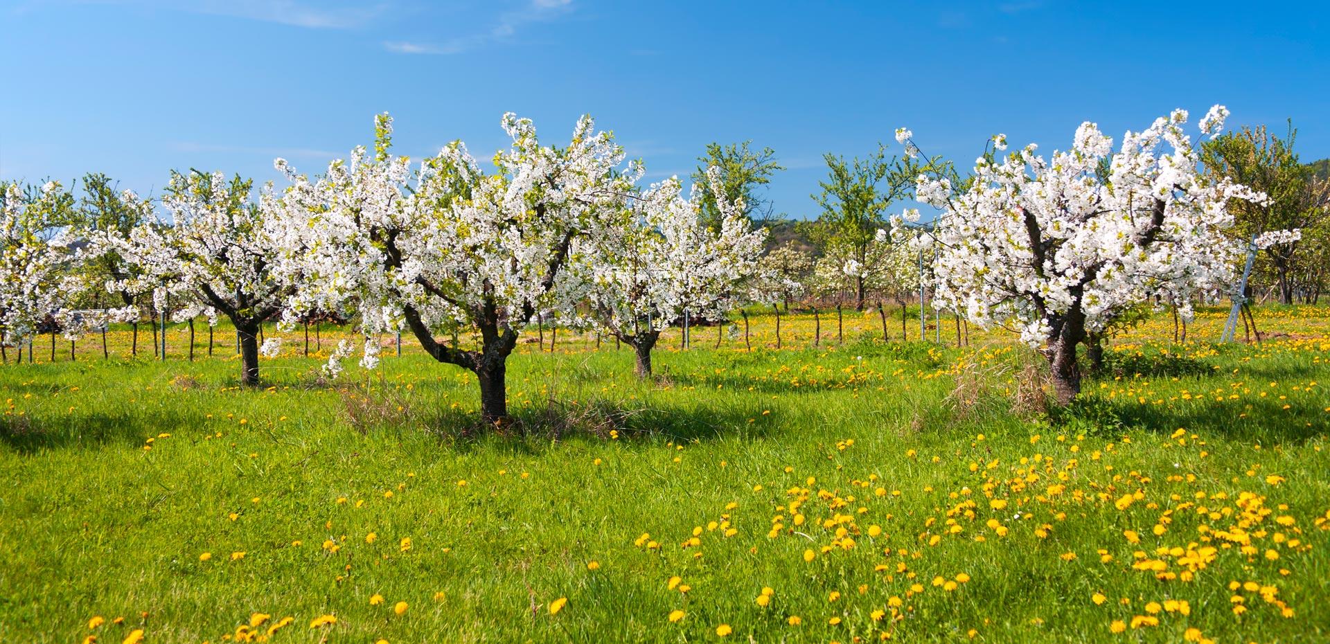 Frühlingsbild mit blühendem Baum in der Pfalz