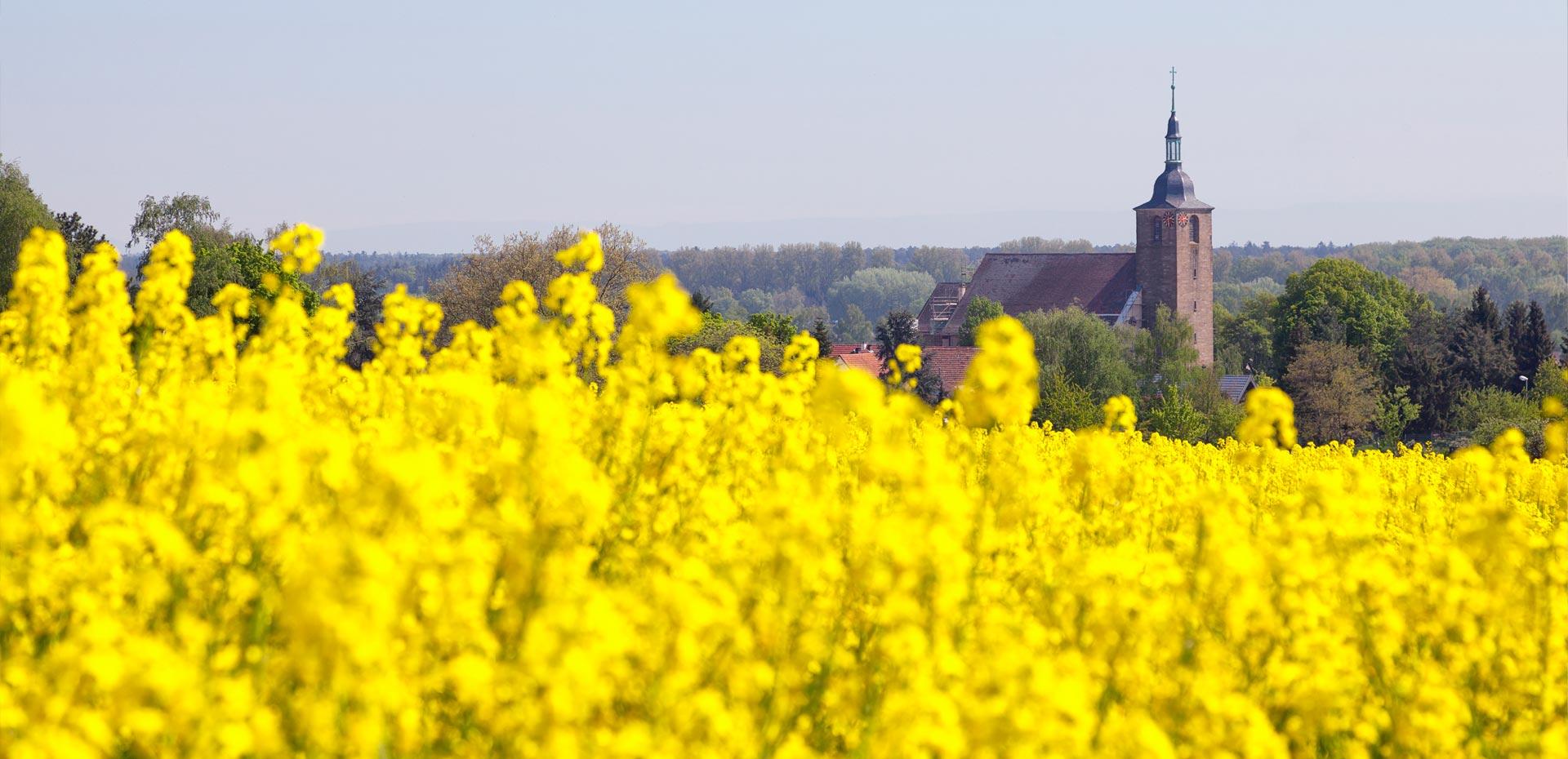 Rapsfeld in der Pfalz